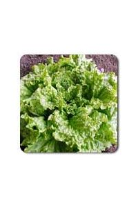 Black Seeded Simpson Lettuce seeds - 1/32 oz