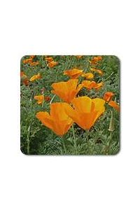 California Orange Poppy seeds - 1/64 oz