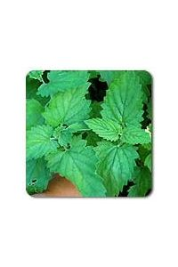 Catnip seeds - 1/32 oz