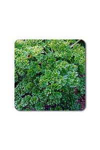 Moss Curled Parsley seeds - 1/32 oz