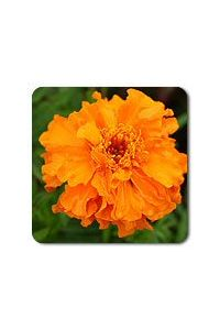 Dark Orange Marigold seeds  - 1/32 oz